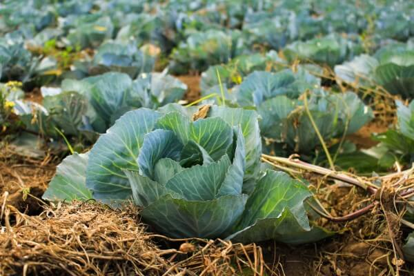 Cabbages growing in a field